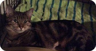 Domestic Shorthair Cat for adoption in Mt Pleasant, Pennsylvania - Thelma
