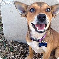 Adopt A Pet :: Aston - Austin, TX