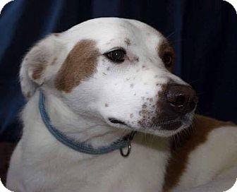Labrador Retriever/Border Collie Mix Dog for adoption in Burlington, North Carolina - Peppa