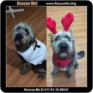 Skye Terrier Dog for adoption in Arlington, Massachusetts - Chicka