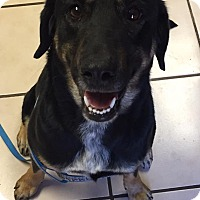 Adopt A Pet :: Mercedes - Joplin, MO