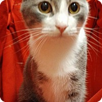 Domestic Shorthair Cat for adoption in Baton Rouge, Louisiana - Frostbite