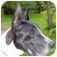 Photo 1 - Great Dane Dog for adoption in Woodstock, Illinois - Hollywood