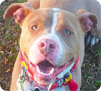 Dogue de Bordeaux/American Staffordshire Terrier Mix Dog for adoption in Burbank, California - Sweet Petey - VIDEO