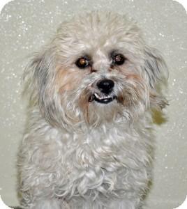 Poodle (Miniature) Mix Dog for adoption in Port Washington, New York - Shadow