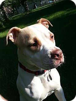 American Staffordshire Terrier/American Pit Bull Terrier Mix Dog for adoption in Oak Creek, Wisconsin - Belle