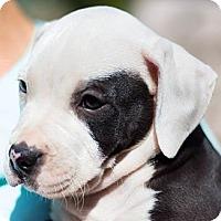 Adopt A Pet :: Joey - Sacramento, CA