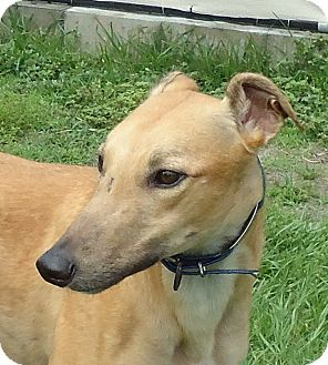 Greyhound Dog for adoption in Longwood, Florida - Carrabba