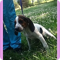 Adopt A Pet :: Lauretta (POM-JG) - Brattleboro, VT