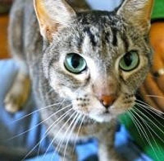 Domestic Shorthair Cat for adoption in Memphis, Tennessee - Allie