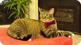 Bengal Cat for adoption in Studio City, California - Toy 18-pounds