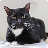 Adopt A Pet :: Clara - Merrifield, VA