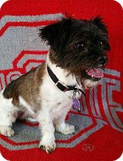 Shih Tzu/Terrier (Unknown Type, Medium) Mix Dog for adoption in Urbana, Ohio - Oliver Turner