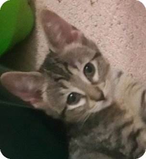 Domestic Shorthair Kitten for adoption in Yorba Linda, California - Tawney