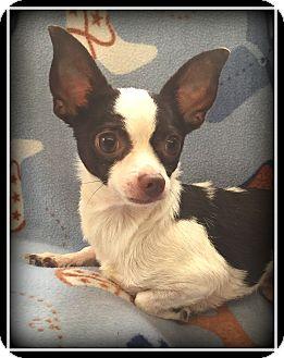 Chihuahua Dog for adoption in Indian Trail, North Carolina - Landon