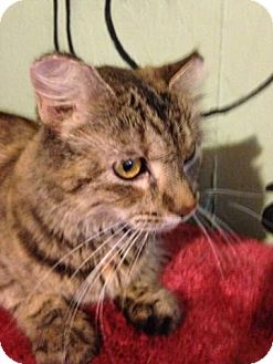 Maine Coon Cat for adoption in Bridgeton, Missouri - Angel