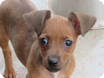 Chihuahua/Dachshund Mix Puppy for adoption in Broken Arrow, Oklahoma - Little Eva