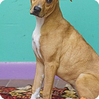 Adopt A Pet :: Ally - Evansville, IN