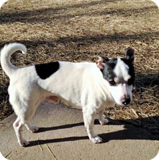 Rat Terrier Mix Dog for adoption in Union City, Tennessee - Scooby