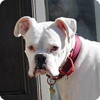 Boxer Dog for adoption in Denver, Colorado - Steve