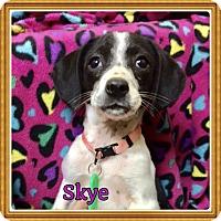 Adopt A Pet :: Skye - Brattleboro, VT