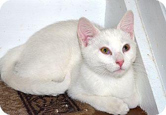 Domestic Shorthair Kitten for adoption in Xenia, Ohio - Otis