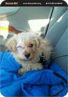 Cockapoo Puppy for adoption in Chicago, Illinois - Oliver