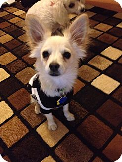 Chihuahua Puppy for adoption in Las Vegas, Nevada - Ziggy