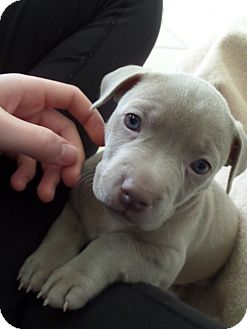Weimaraner/Bulldog Mix Puppy for adoption in Knoxville, Tennessee - Isabelle