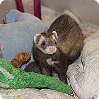 Adopt A Pet :: Alli - Chantilly, VA