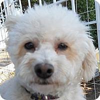 Adopt A Pet :: Holly - La Costa, CA