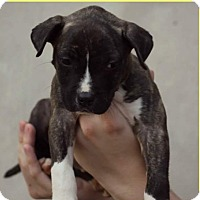Adopt A Pet :: Bella-Adoption Pending - Fredericksburg, VA