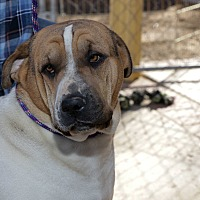 Shar Pei/Halden Hound (Haldenstrover) Mix Dog for adoption in Corona, California - Spooner the Crooner, Shar-Pei