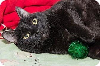 Domestic Shorthair Cat for adoption in Lowell, Massachusetts - Emma