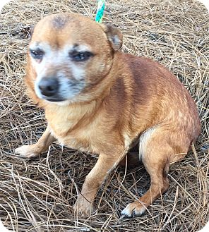 Chihuahua Mix Dog for adoption in Mount Pleasant, South Carolina - Chief
