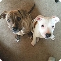 Adopt A Pet :: Mufasa and Scar - Blue Bell, PA