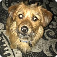 Adopt A Pet :: Loki-APPLICATIONS CLOSED - Livonia, MI