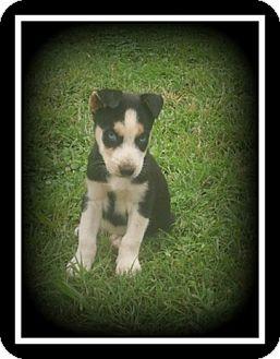 Alaskan Malamute/Siberian Husky Mix Puppy for adoption in Indian Trail, North Carolina - Willaby