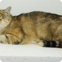 Domestic Shorthair Cat for adoption in Ashland, Ohio - Blossom