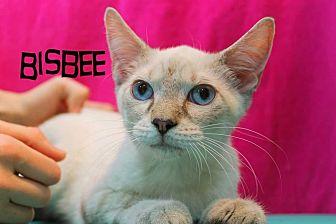 Siamese Cat for adoption in Wichita Falls, Texas - Bisbee