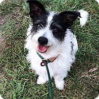 Adopt A Pet :: Clara Bow - Mission Viejo, CA