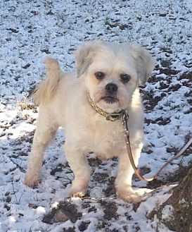 Lhasa Apso Mix Dog for adoption in Bridgewater, New Jersey - Jacob