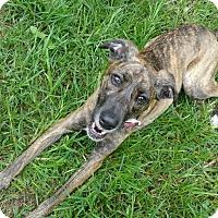 Adopt A Pet :: Marley - Hixson, TN