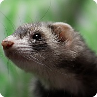 Ferret for adoption in Balch Springs, Texas - GeeGee