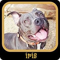 Adopt A Pet :: Iris - Memphis, TN