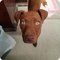 Adopt A Pet :: Dasher - Denver, CO