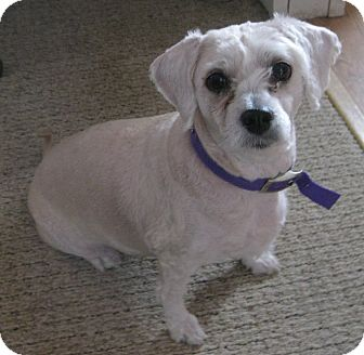 Lhasa Apso/Poodle (Miniature) Mix Dog for adoption in Prole, Iowa - Sophie