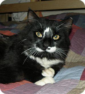 Domestic Shorthair Cat for adoption in Medford, Massachusetts - Elton