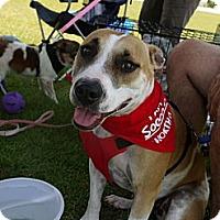 Adopt A Pet :: Beignet - Baton Rouge, LA