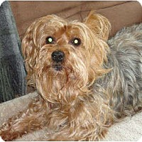 Adopt A Pet :: Foxie - Rigaud, QC